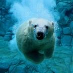 diving-bear